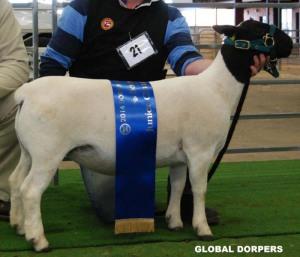 Pipa Junior Champion ewe 2014