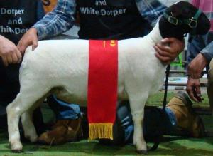 Pipa Reserve Junior Champion Bendigo 2014